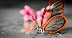 Бабочка Грета Ото со «стеклянными» крыльями